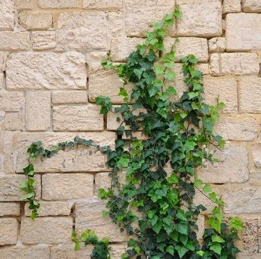 Ivy - Western Wall